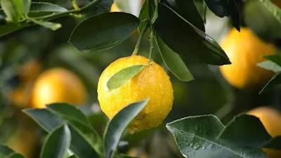 Kulit Lemon di Percaya Mampu Mengobati Penyakit Nyeri Sendi, Begini Caranya