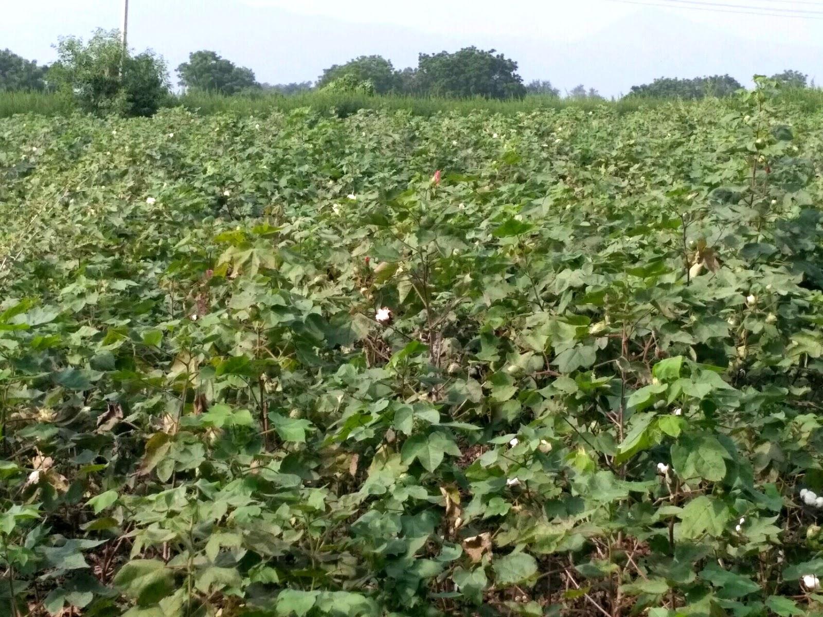 12 Acre farm land for sale in near usilampatti, Madurai