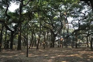 Great Banyan Tree India, pohon beringin terbesar di dunia
