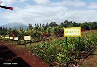 Large rows of flowers - Dole Plantation, Oahu, HI