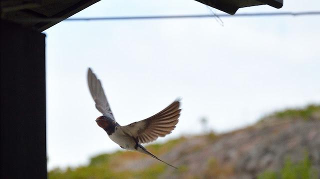 Lintu räystään alla