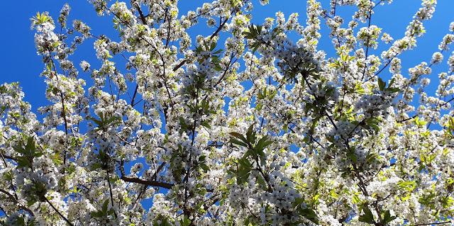 paluumuutto, puoli vuotta paluumuutosta, kukassa, kukkii, valkoinen kukka