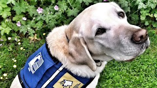 img  Working Dog Caber - Golden Labardor Retriever wearing blue service dog vest Delta BC Police Department photo