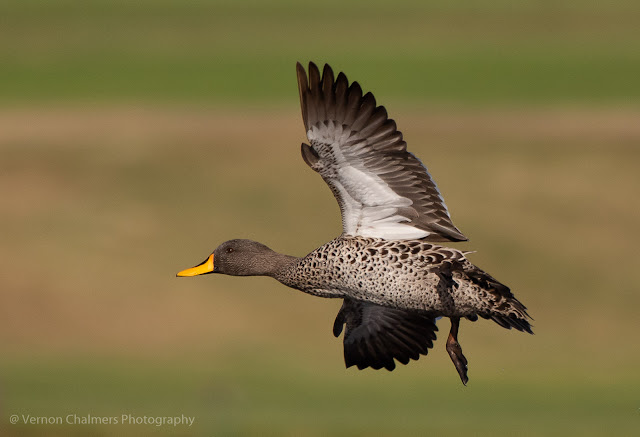 Yellow-Billed Duck in Flight - Woodbridge Island Cape Town