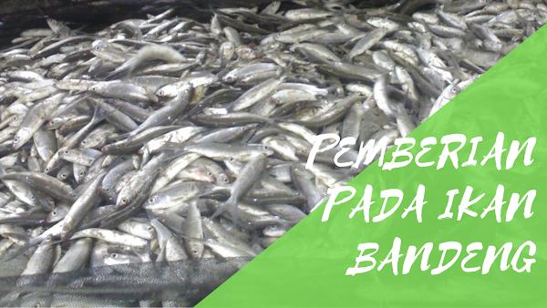 Pemberian Pakan Pada Ikan Bandeng