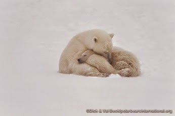 International Polar Bear Day & Please Help Sign The Petition to Save Polar Bears!