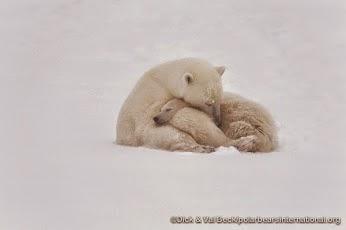 International Polar Bear Day & Please Help Sign The Petition to Save Polar Bears!