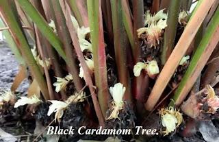 black cardamom tree with flower