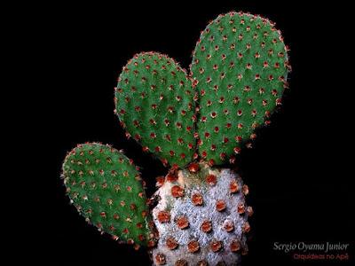 Cacto Opuntia rufida