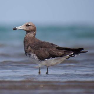 sooty gull (Larus hemprichii) juvenile wading
