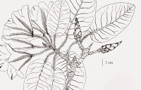 http://sciencythoughts.blogspot.co.uk/2015/01/a-new-species-of-rhododendron-from.html