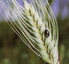 Plagas en el trigo