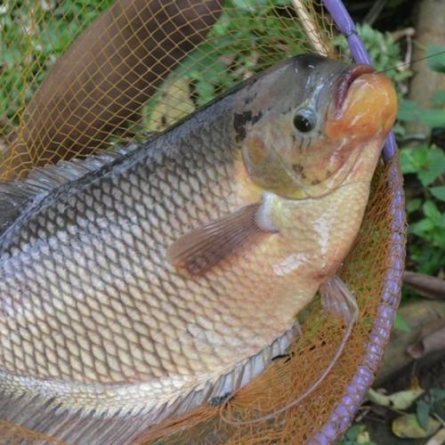 Penyedia Supplier Jual Ikan Gurame Bibit & Konsumsi Manado, Sulawesi Utara