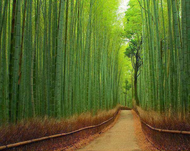 Sagano Bamboo Forest Kyoto, Japan