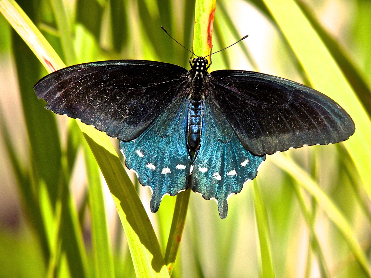 Phoenix Daily Photo: Butterflies of a Different Color