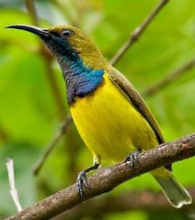 Solusi Dan Cara Meloloh Anakan Burung Sogok Ontong Agar Selalu Sehat Serta Cepat Besar