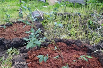 Як правильно посадити чорницю