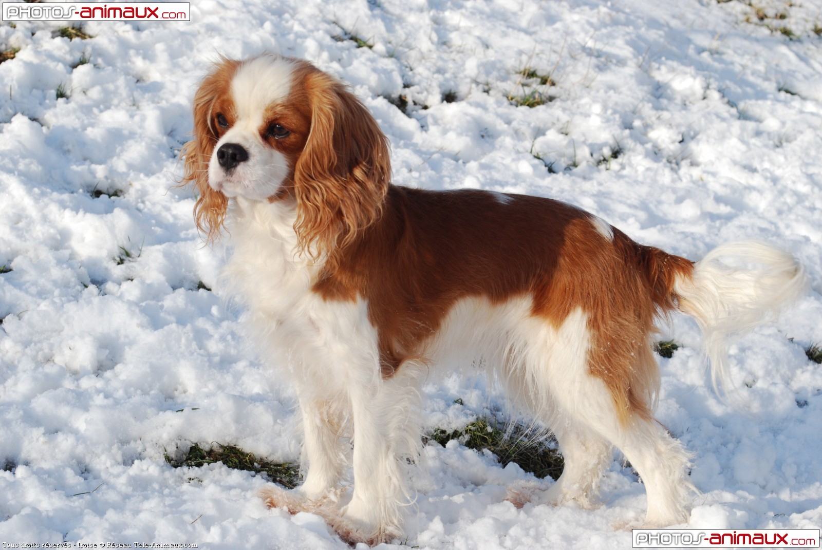 Volleyball Wallpaper Iphone Global Pictures Gallery Cavalier King Charles Spaniel Hd