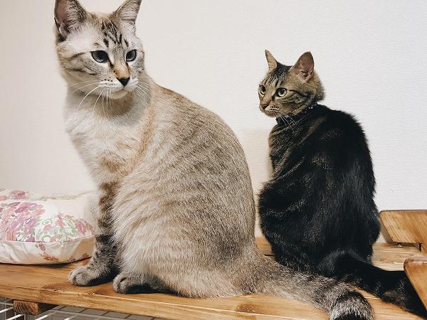 シャムトラ猫をガン見しているキジトラ猫