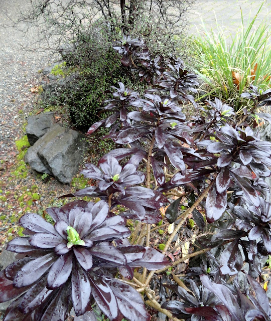 danger garden the rhododendron species foundation botanic. Black Bedroom Furniture Sets. Home Design Ideas