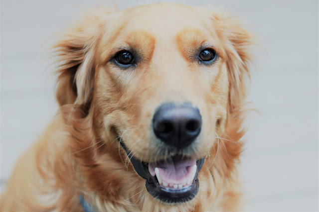 Sadie, Olson, book a bloom, athomewithjemma, golden, retriever