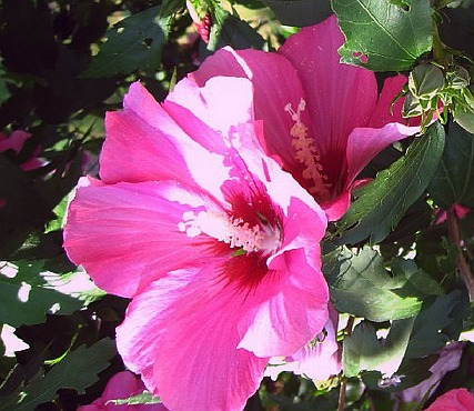 imaginea unei flori de hibiscus - planta decorativa si medicinala