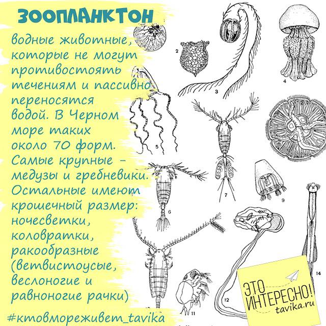 зоопланктон Черного моря