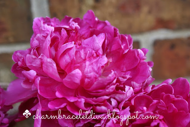 pink peony flower with petals