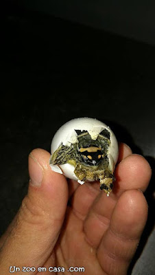 Rhinoclemmys punctularia saliendo del huevo