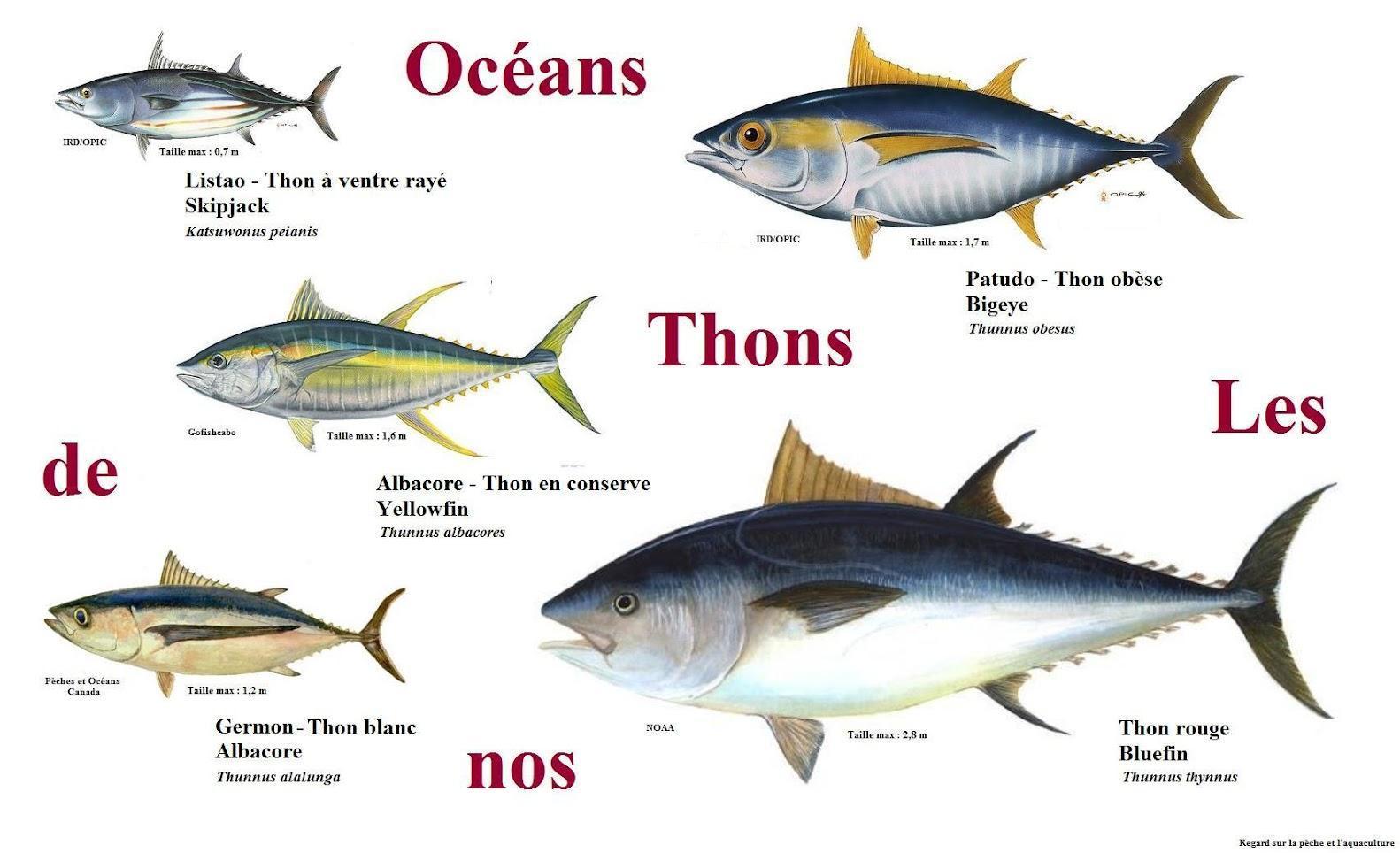 Cuisine en folie tartare de thon albacore mangue et - Cuisiner le thon rouge ...