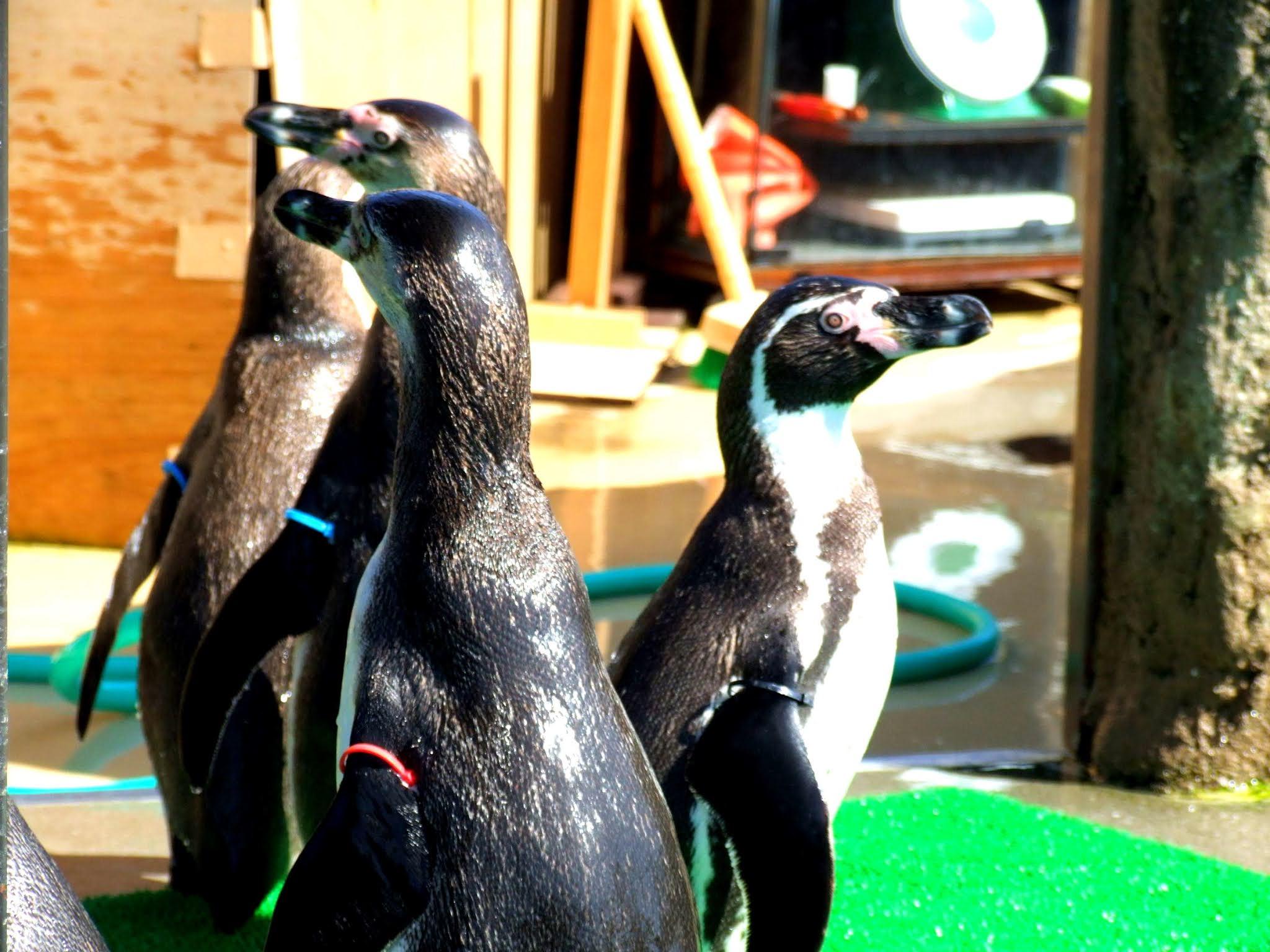 円になって円陣を組むように集まって、思い思いに好きな方向を見つめているペンギンさんたちの写真素材です。