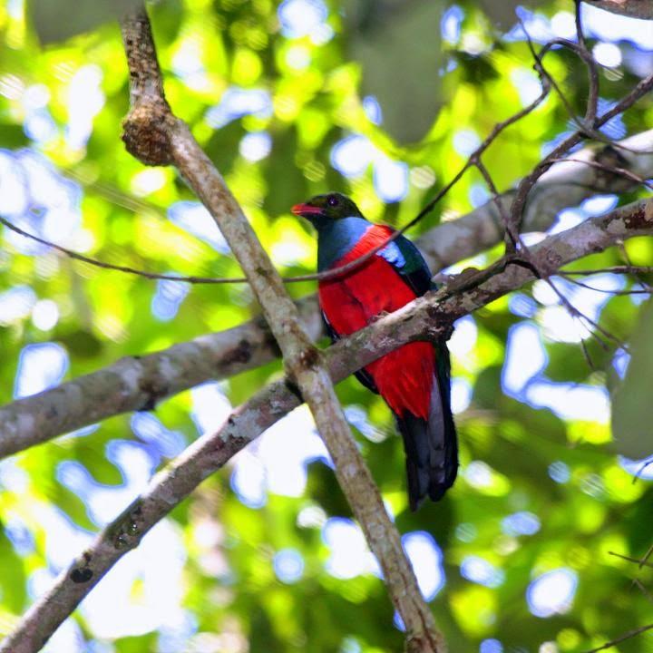 quetzal pavonino Pharomachrus pavoninus