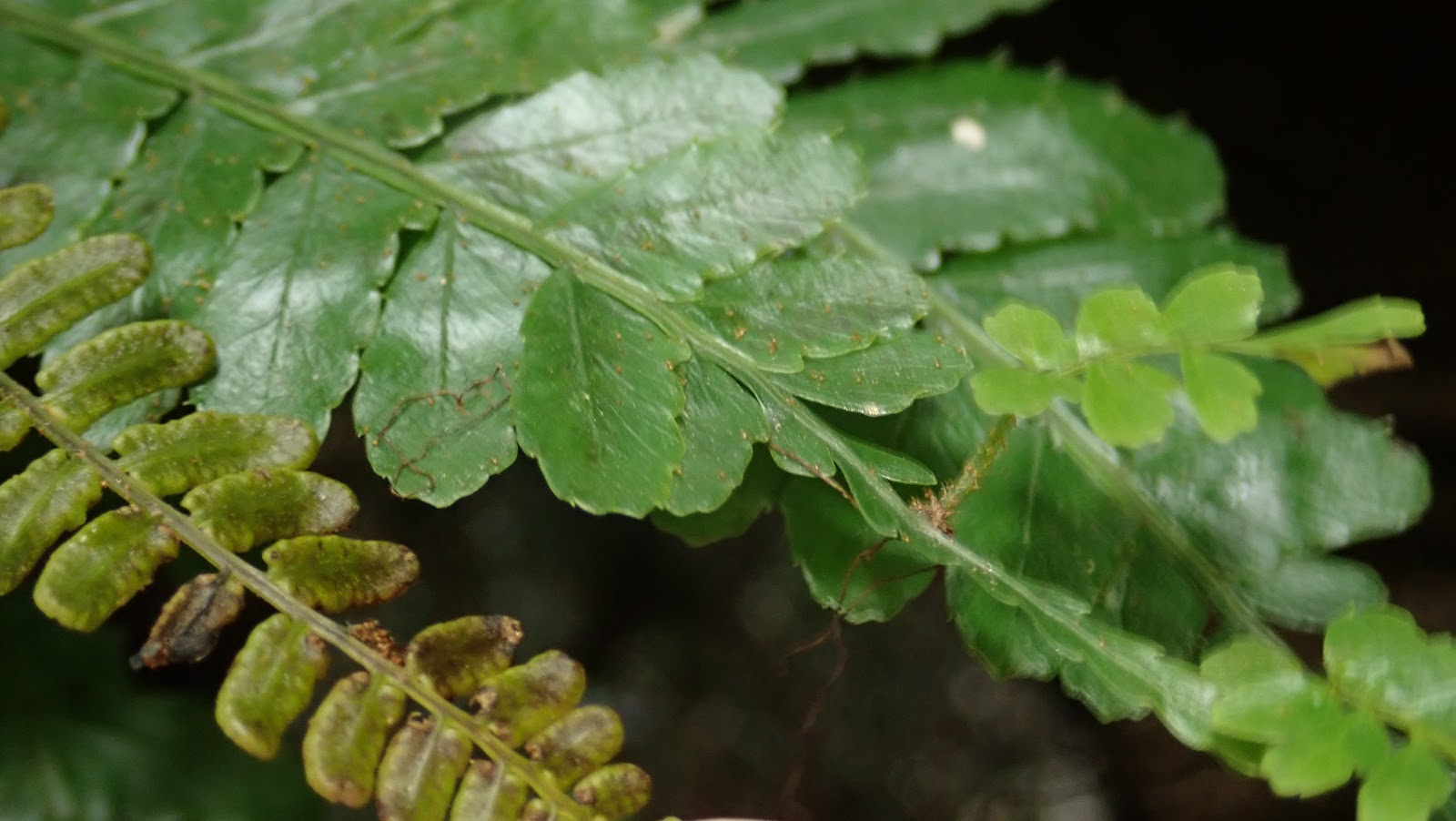 香港野外植物: 2020-01-09 新界東
