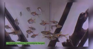 Jenis Ikan Hias Hengel's Rasbora.jpg