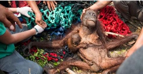 Kamenovali orangutana i bebu koji su bježali od šumskog požara.