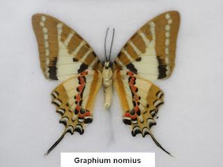 Graphium nomius