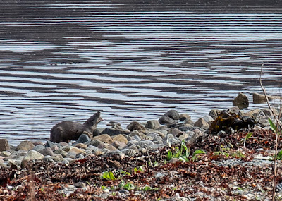 Photo of an otter on the shore near the cottage