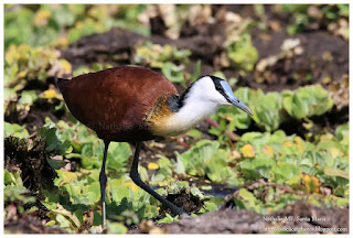 https://bioclicetphotos.blogspot.fr/search/label/Jacana%20%C3%A0%20poitrine%20dor%C3%A9e%20-%20%20Actophilornis%20africanus