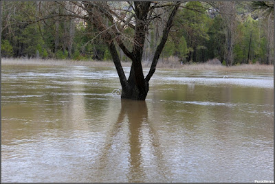 La Playeta en una crecida (Río Escabas, Cañamares). Obsérvese la escalera tras el árbol