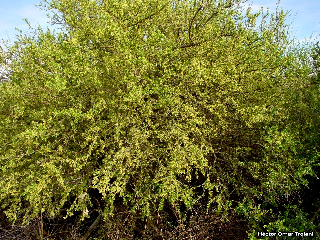 Flora bonaerense molle negro schinus fasciculatus for Nombres de arboles en ingles