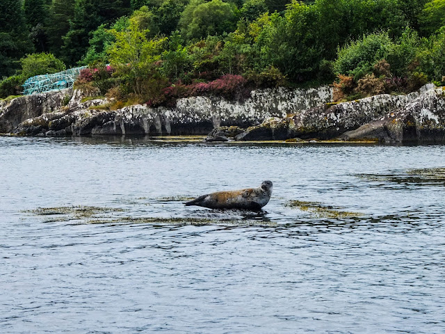 A seal blending with the rock environment in Bantry Bay, Ireland.