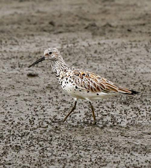 Bird World - Great knot - Calidris tenuirostris