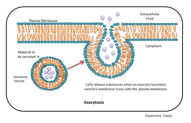 B for Biology: Cell Membrane - Protector of the Cell