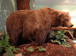 Grizzly Bear, Ursus arctos horribilis  on display at the Rancho del Oso Nature & History Center