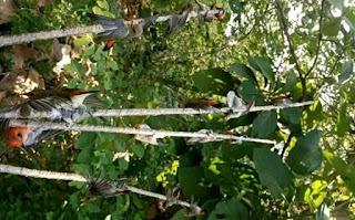 Cara Membuat Pulut Burung Dijamin Lengket Anti Lepas