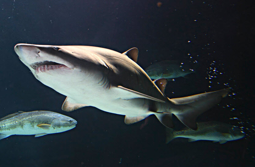 Animal You: Sand Tiger Shark  Animal You: San...