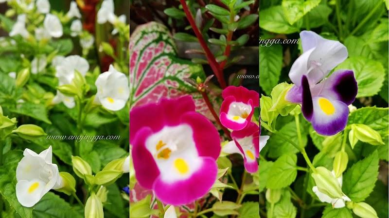 Koleksi pokok bunga torenia , penjagaan dan cara tanam