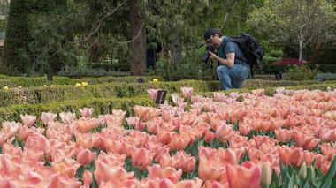 Variedades de tulipanes en el Botánico de Madrid: en 'peines' y en flor