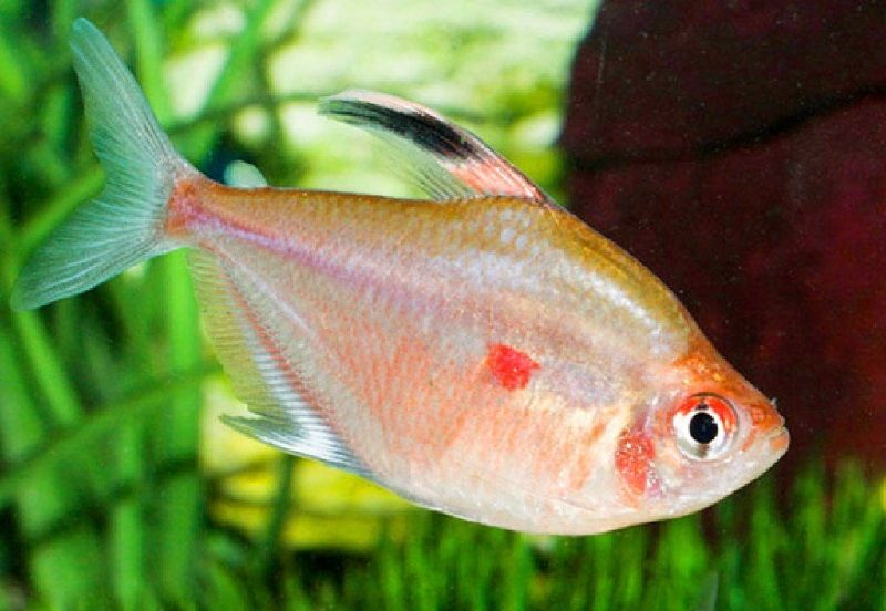62. Jenis Ikan Hias Aquascape Bleeding Heart Tetra