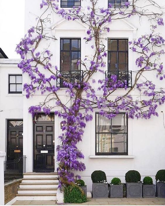 Magnificent climbing purple flowers on white home with boxwood in planters  beautiful home exterior seen on Hello Lovely Studio